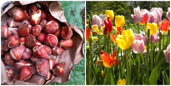 Jövőre is szép tulipánokat szeretnél? Van négy jó tanácsunk!