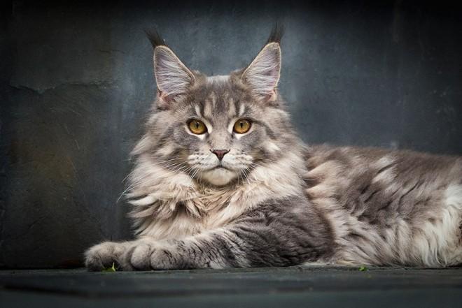 Gyönyörű fotósorozat készült Maine Coon macskákról