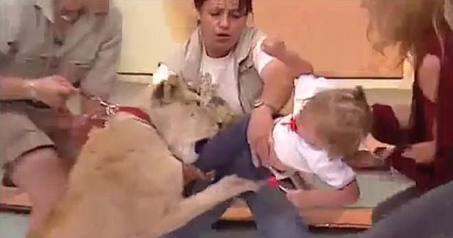Félelmetes videó - élő TV showban támad egy kislányra a műsorban szereplő oroszlán