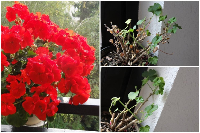 Így kell megmetszeni tavasszal a teleltetett muskátlidat