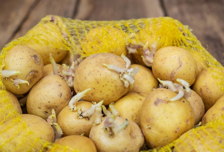 Mérgező a kicsírázott krumpli?
