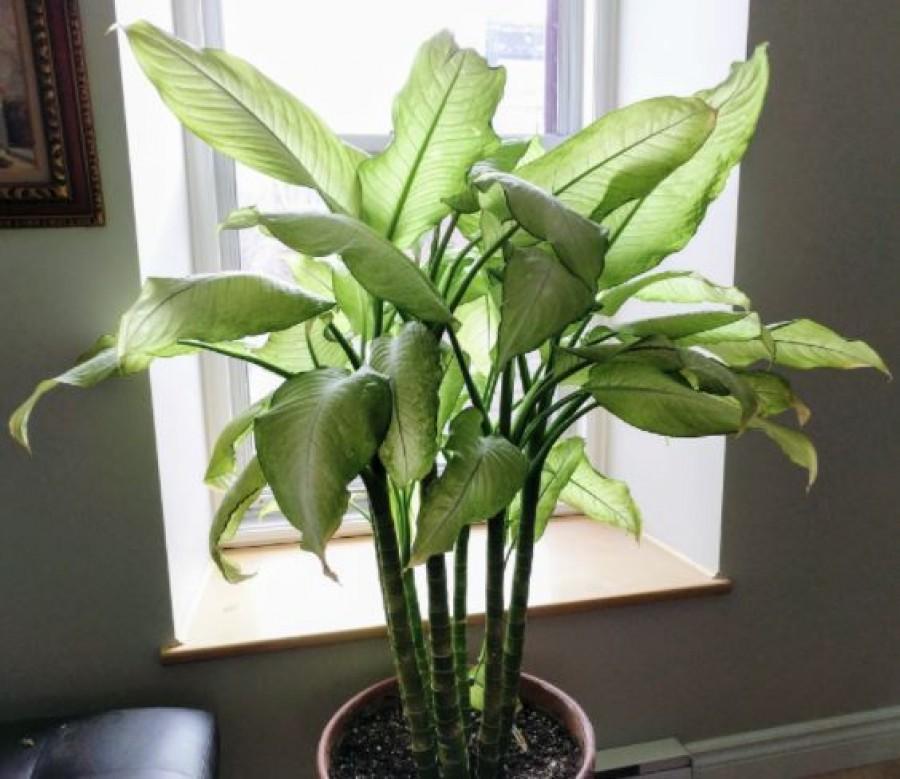 Az egyik legveszélyesebb szobanövény: életveszélyes mérgezést vagy akár vakságot is okoz